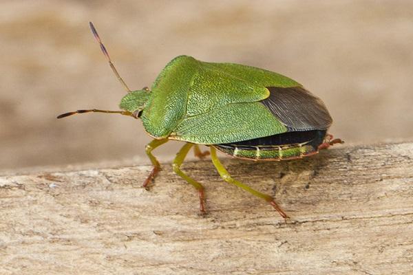 Фотография зеленого древесного клопа