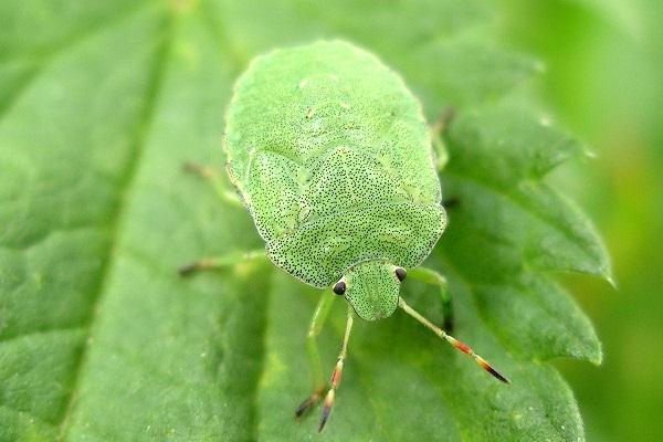 Зеленый клоп - вредитель огородов