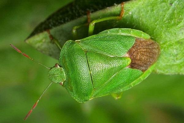 Фото зеленого древесного клопа