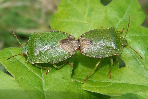 Пара древесных зеленых клопов