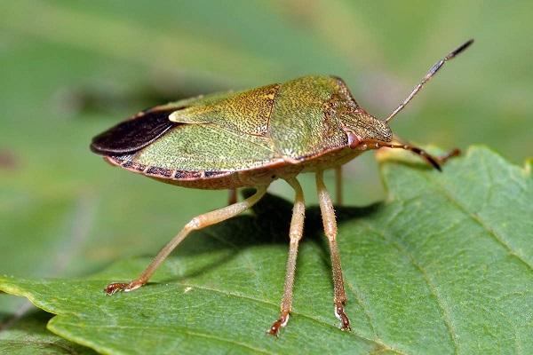Зеленый древесный клоп