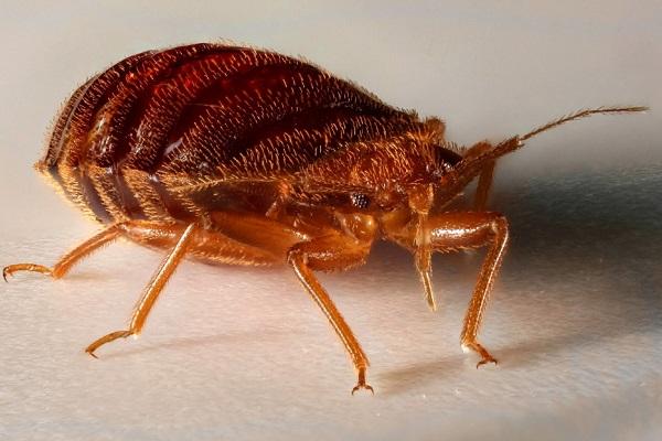 Постельный клоп, который может попасть в самую обычную ловушку-липучку от мух