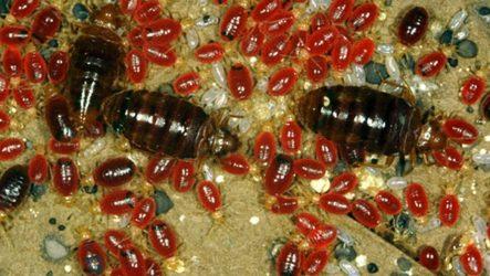 Как выглядят личинки и яйца домашних клопов и как от них избавиться?