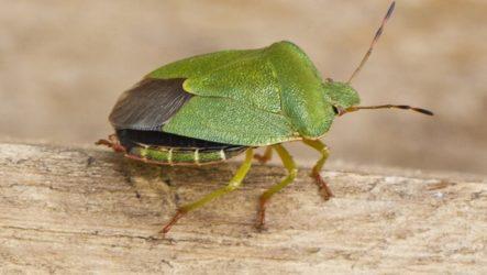 Зеленый древесный клоп: как выглядит и что собой представляет?